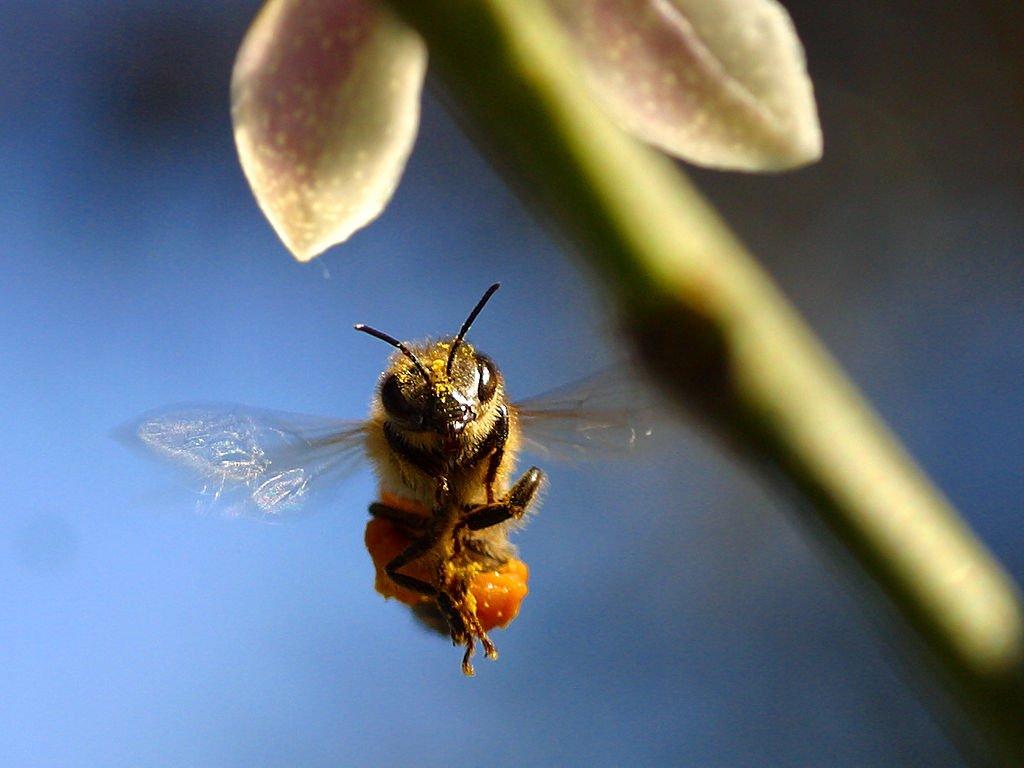 bee_pollen_wing