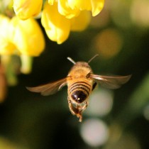 honey_bee_insect_flying